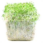 Sprout Alfalfa Punnet 120g